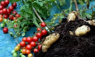 Britanska tvrtka uspješno razvila biljku koja je i krompir i paradajz u isto vrijeme