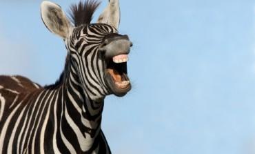 ISTINITA PRIČA u koju je teško POVJEROVATI - Navijača Newcastlea silovala i ubila zebra!