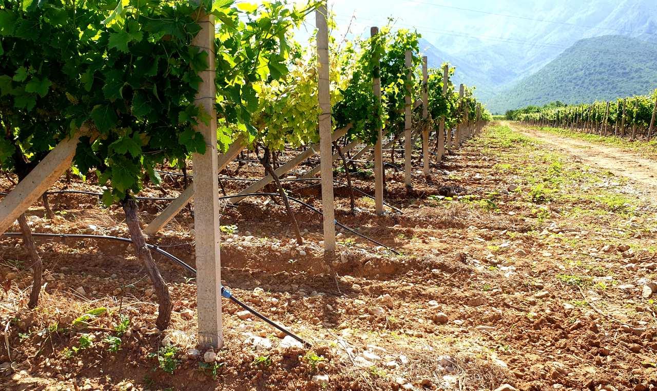 vasilj-vinograd carskih vina
